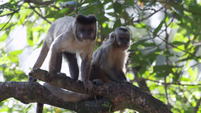 MS TS Three Capuchin Monkey on branch / Atlanta, United States