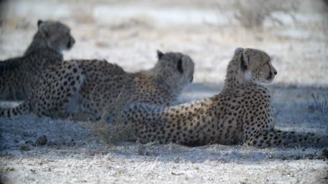 MS Three Cheetahs (Acinonyx jubatus) resting in shadow / Kgalagadi Transfrontier Park, Kgalagadi District, South Africa