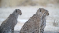 MS three Cheetahs (Acinonyx jubatus) sitting / Kgalagadi Transfrontier Park, Kgalagadi District, South Africa