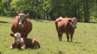 three cows in a sunny field