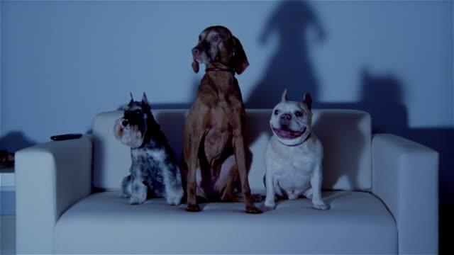 MS, Three dogs sitting on sofa, watching TV