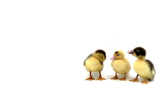Three ducklings standing in a row on white background