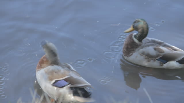 Three ducks groom themselves near the shore of a lake.