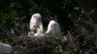 Three Egret Chicks