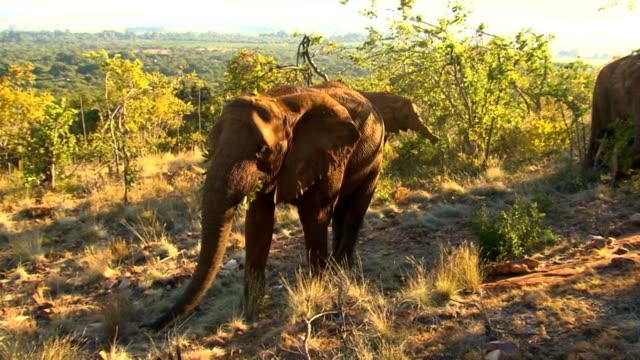 Three elephants walking and eating from trees/ Etosha National Park/ Namibia