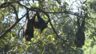 MS Three flying foxes hanging upside down from branches / Sydney , Australia