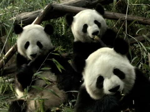 MS, Three Giant pandas (Ailuropodia melanoleuca) eating bamboo, Chengdu, Sichuan , China