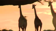 Three giraffes gallop across savannah against a glowing pink sky. Available in HD.