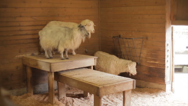 Three goats standing in a farmhouse, another walks by in the foreground