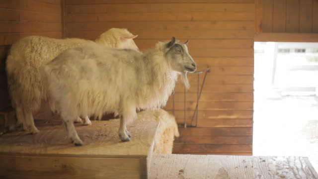 Three goats standing in a farmhouse