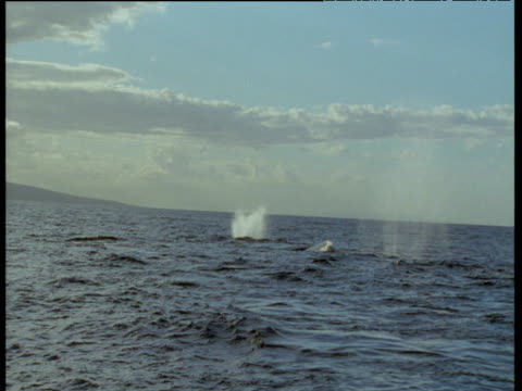 Three humpback whales spout at surface in succession, Hawaii