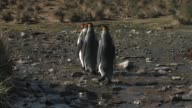 MS, Three King penguins (Aptenodytes patagonicus) wading in stream, South Georgia Island, Falkland Islands, British overseas territory