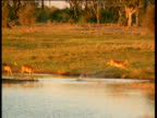 Three Lechwe leap through swamp