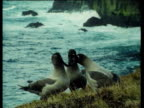 Three Light Footed Sooty Albatrosses sit on grassy cliff edge and take turns in clapping each others bills as stormy sea crashes on rocks in background. South Georgia.