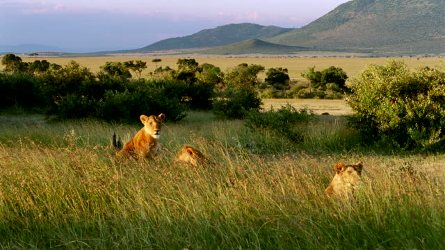 MS Three lionesses lying and sitting in long grass / Masai Mara, Kenya