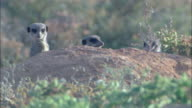 MS, Three meerkats behind mound, looking around, South Africa