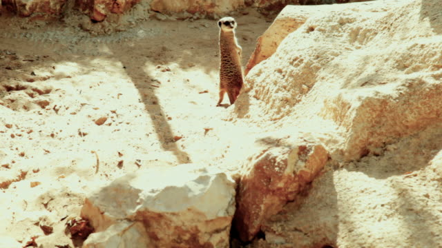 Three Meerkats in sandy rocks