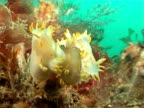 Three Nudibranchs yellow and White with 2 mating CU
