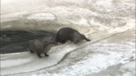 Three otters on the ice