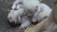 Three rare white lion cubs were born at the end of March at a zoo in the city of Amnéville in eastern France