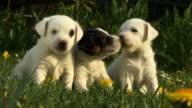 CU, Three Rat Terrier puppies in grass
