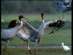 Three Sarus Cranes jump up and down flapping wings in courtship display, India