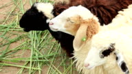 Three sheep is chewing the grass
