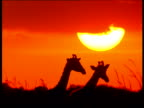 Three silhouetted giraffes walk through the African savanna.