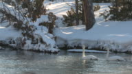 MS Three trumpeter swans swimming in river / Yellowstone National Park, Wyoming, United States
