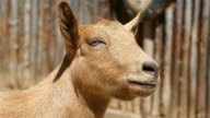 Three videos of bouncing goat in 4K