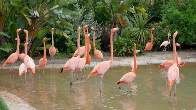 Three videos of flamingos in 4K