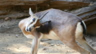 Three videos of goat in 4K