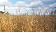 Three videos of oat field in 4K-professional electronic slider