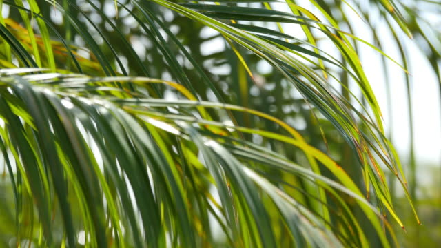 Three videos of palm leaves in 4K