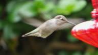 Three videos of real humming bird in 4K