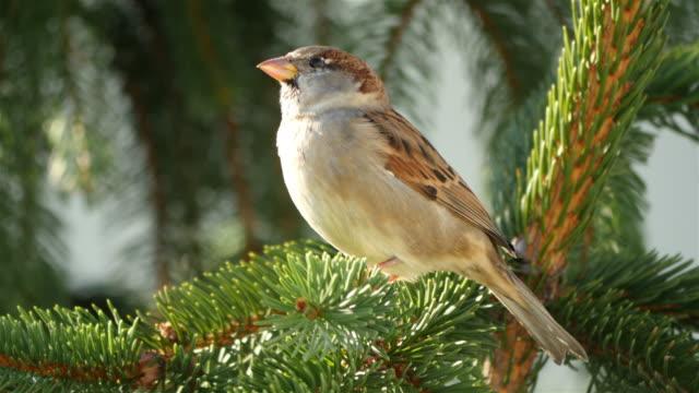 Three videos of sparrow in 4K