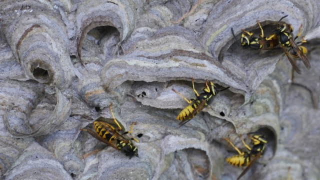 Three wasps in focus nest building