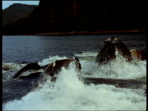 Three whales surface, lunge feed then submerge, surrounded by lots of frothy water, Alaska