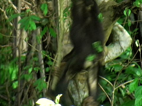 MS, Three young chimps (Pan troglodytes) hanging on tree vine and playing, Gombe Stream National Park, Tanzania