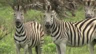 Drei Zebra