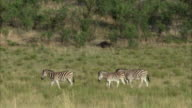 WS PAN Three zebra's walking to waterhole / Pilanesberg Nature Reserve, North West, South Africa