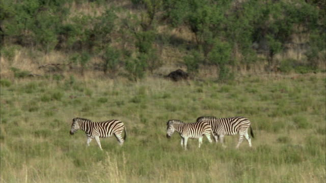 WS PAN Three zebra's walking to waterhole / Pilanesberg Nature Reserve, North West, South Africa