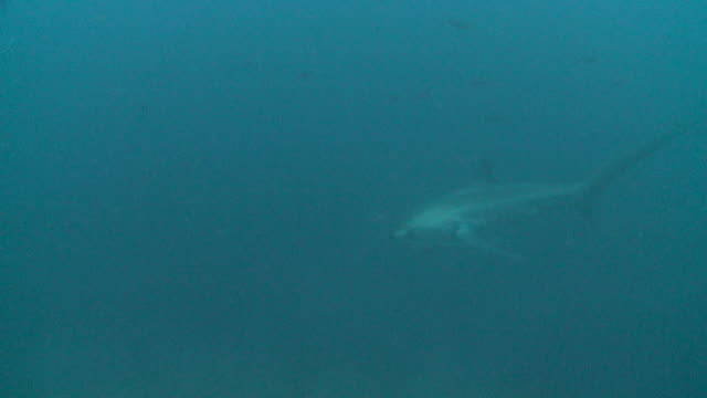 Thresher shark (Alopias vulpinus) behaviour coming into cleaning stations to be cleaned, Malapascua, Philippines