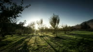 POV through apple orchard on Organic Farm