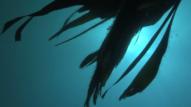 POV through kelp, Guernsey, English Channel, UK