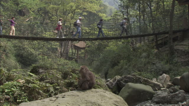 Tibetan macaque sits on rock and watches tourists cross over bridge, Mount Emei, China