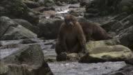 Tibetan macaques on rocks in river, Mount Emei, China