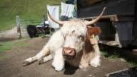 Tibetan Yak Cow on the Italian Dolomites