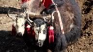 tibetan yaks (Bos grunniens)