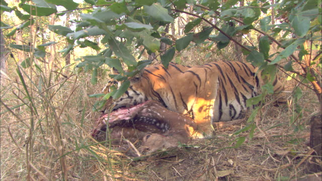 Tiger and cub feed on axis deer kill, Pench, India. Available in HD.